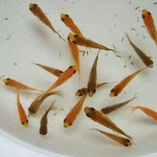 ※金魚の赤ちゃん※稚魚【生体】