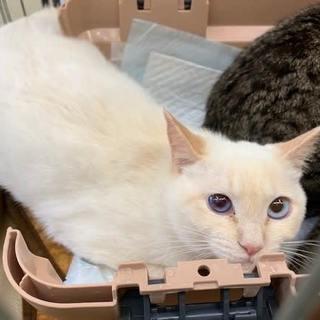 キレイな水色の瞳の白猫ちゃん