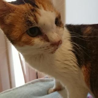 負傷猫として保護された三毛の女の子