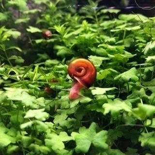 レッドラムズホーンの【稚貝】!写真より小さいです!