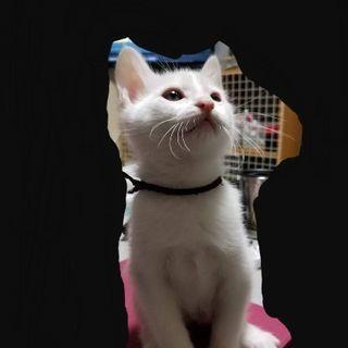 白猫♂の里親さんを募集します!