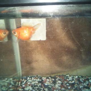 金魚、ピンポンパール一匹