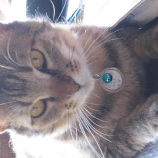 甘えん坊のキジ猫ちゃんです。