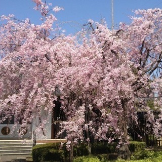春のお寺の落語会 − 東京都