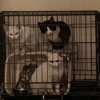【里親募集】白猫2匹と白黒ハチワレ