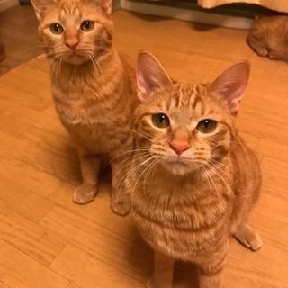生後約7ヶ月の茶トラ兄弟