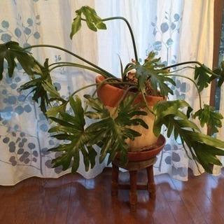 セローム 観葉植物
