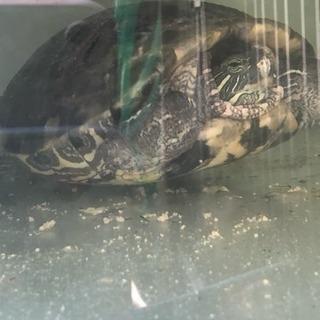 ゼニガメ・ミシシッピアカミミガメ