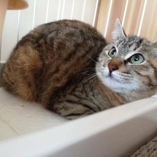 生後半年のキジ猫女子です💕