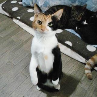 【一旦停止します】超絶★美猫 三毛猫ベッティー♀ 4~5ヶ月 - 熊谷市