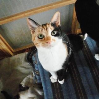 【一旦停止します】超絶★美猫 三毛猫ベッティー♀ 4~5ヶ月 - 猫