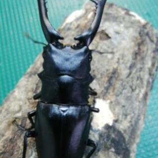 ギラファノコギリクワガタ 幼虫
