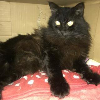 2歳くらいの黒猫ちゃん雄キャノンくん、人なつっこい性格で優しく大人しい