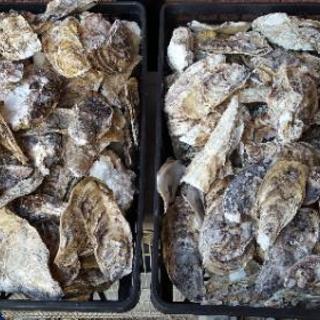 牡蠣殻・ゾウリムシ・めだかの産卵床
