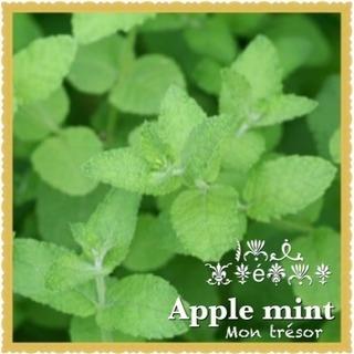 植物  アップルミント ハーブ