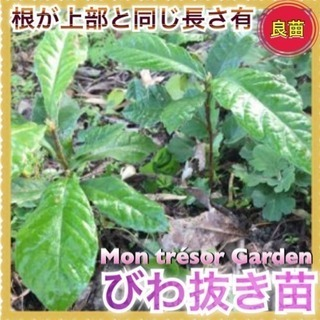 2苗  ミニ盆栽に最適    ♡南大分駅♡
