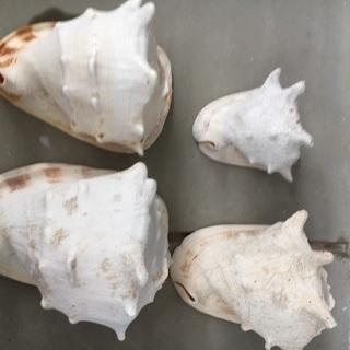 22、トウカムリガイ、大きな貝殻、巻貝?、カイガラ4個セット