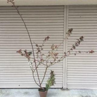 つるバラ長尺苗*アンクルウォルター(約1.7mのバラ苗)