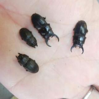 フィリピンネブトクワガタ 幼虫
