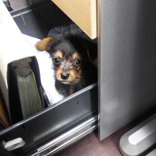 生後2ヶ月半のオスの仔犬