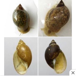 スネール サカマキガイ モノアラガイ 貝