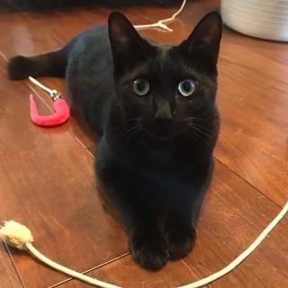 黒猫の男の子☆推定11ヶ月