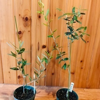 オリーブの苗木