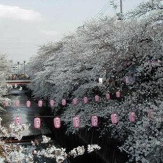 石神井川と飛鳥山公園のお花見🌸お散歩