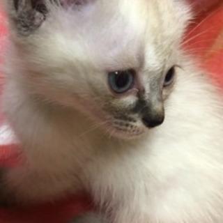 生後1ヶ月の子猫です。この子達の里親を募集します。