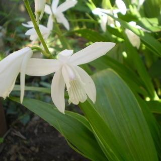 山野草 白色 シラン 斑入り 2芽
