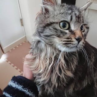 【石狩市】生後1年 メス猫 里親募集!
