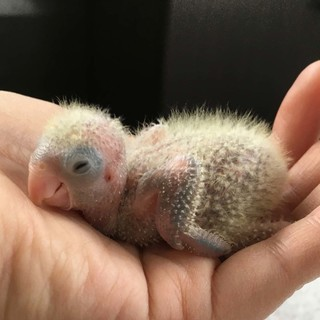 自家繁殖インコ雛 生まれています。(6月初旬生まれ)