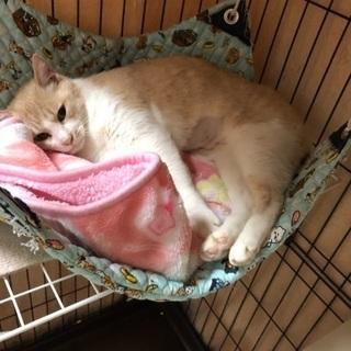 優しい色柄でプックリしたメス猫さん - 福岡市