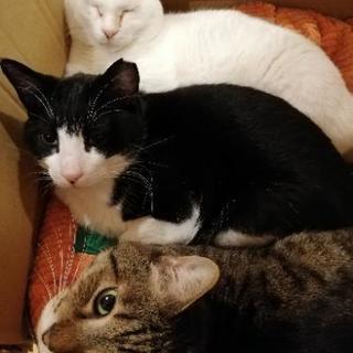 三匹の猫オス(去勢手術済み)