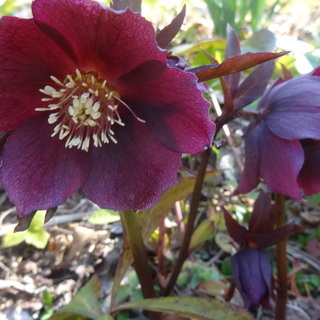 山野草 植物 花 クリスマスローズ ホタルブクロ