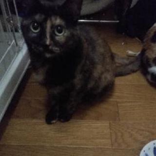 推定1~2歳 仮名サビ吉♀ 保護猫...