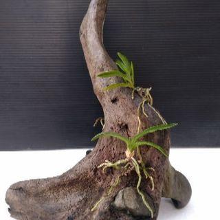 フウラン 富貴蘭 流木 着生 石噛み込み 斑入り 自然蘭