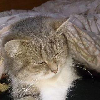 アメショー チンチラMIX メス - 猫