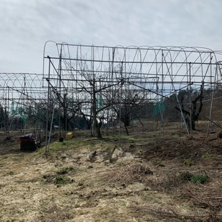 さくらんぼビニールハウス解体、木の伐採、根っこ掘り、
