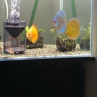 ディスカスセット(熱帯魚水槽)生体