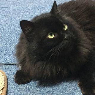 超めずらしい黒の長毛の成猫ちゃん