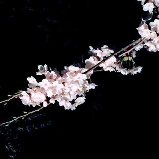 アロマの香りに包まれて英会話IN兼六園夜桜walk