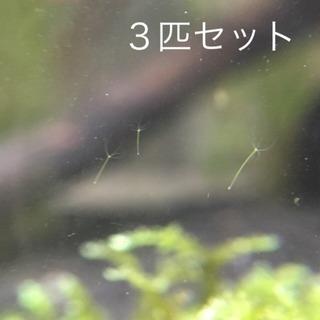 【値下げ】グリーンヒドラ 3匹セット