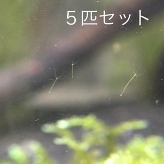 【値下げ】グリーンヒドラ 5匹セット