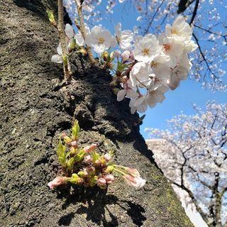ソロ桜🌸満開の画像