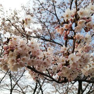 桜が咲いてきましたよ~🌸