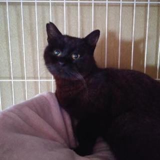 ボブテイルの黒猫ボブくん