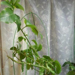 花芽3つ付き パッションフルーツ苗 取引中