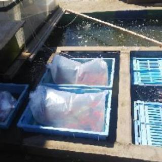金魚、錦鯉大量放流! − 埼玉県