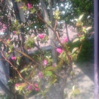 かりんの花の画像